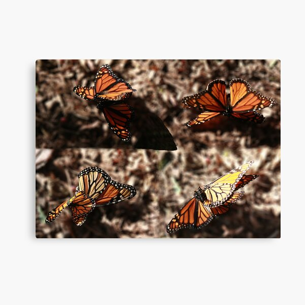 Dance of the Monarchs Canvas Print