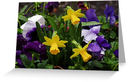 Daffodils by Sarah Jurgens