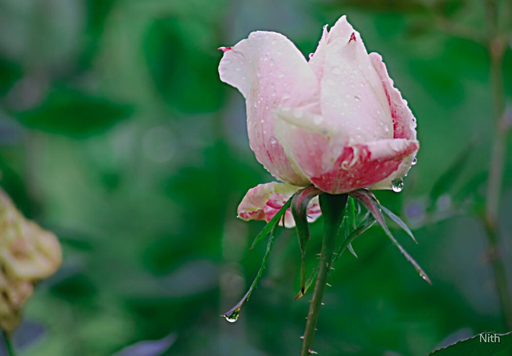 Rose 4 u by Nith