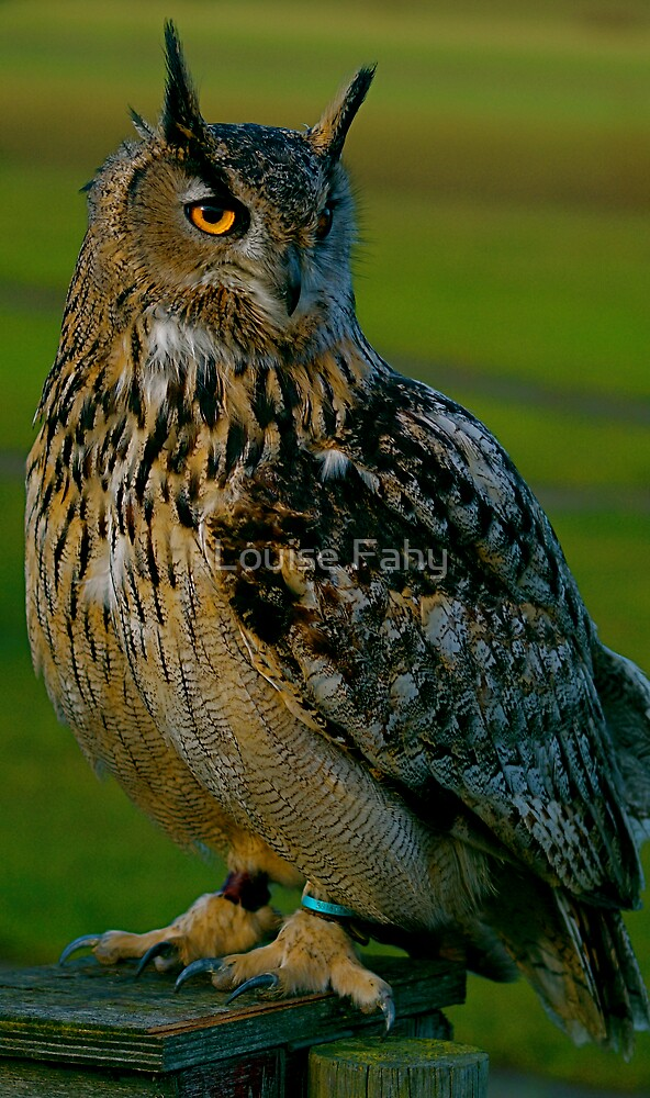 Big Owl by Louise Fahy
