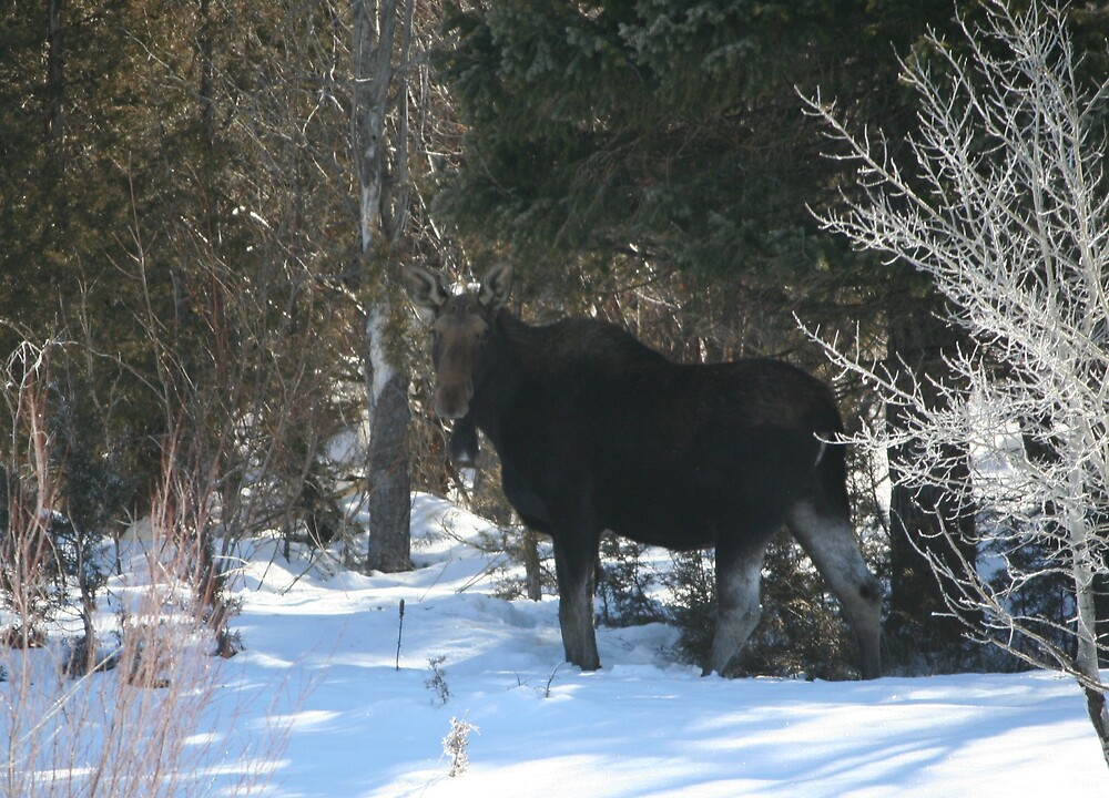 Moose in Lincoln Mt by tdooley