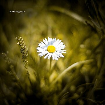The lonely daisy by Stwayne