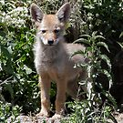 Coyote Pup close and lookin' - 5611 by BartElder