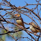 Desert Finches by Harry Oldmeadow