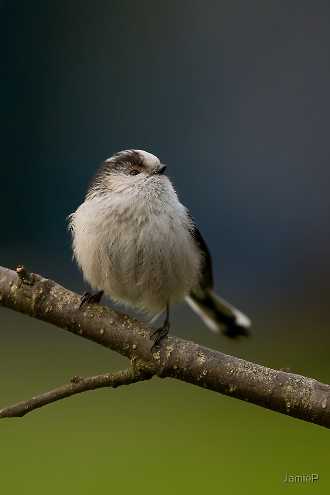 Long-Tailed Tit by JamieP