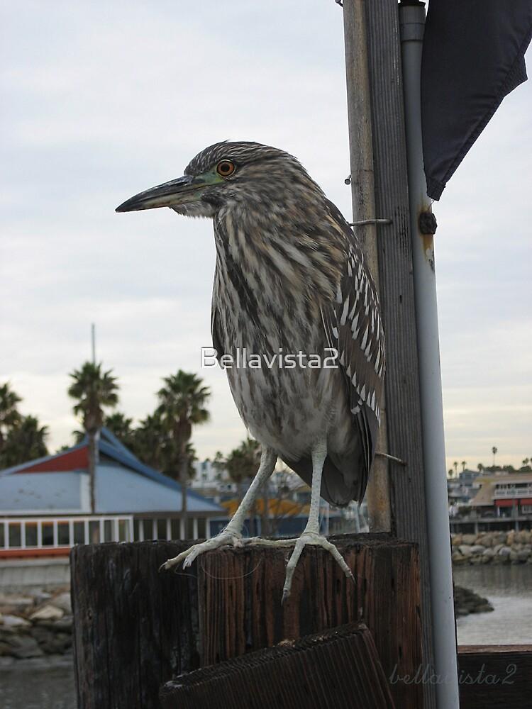 Juvenile Night Heron by Bellavista2