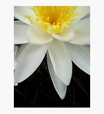 Nymphaea odorata Photographic Print