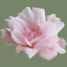 Soft Pink Elegant Rose by Melissa J Barrett