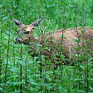A Doe A Deer by Jennifer Vickers