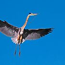 Great Blue Heron 8 by Marvin Collins