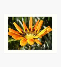 Gazania flower..... Art Print