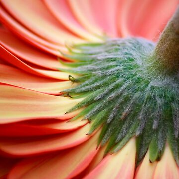 Gerbera Daisy by christacharlene
