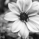 Dahlia in Black and White by JeremyF