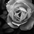 White Rose in Black and White by JeremyF