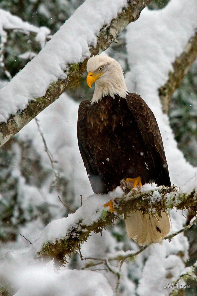 Snowy Eagle by JWallace