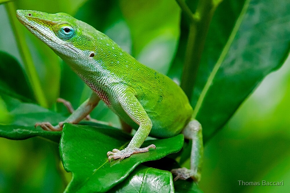 Anole on a Leaf by TJ Baccari Photography