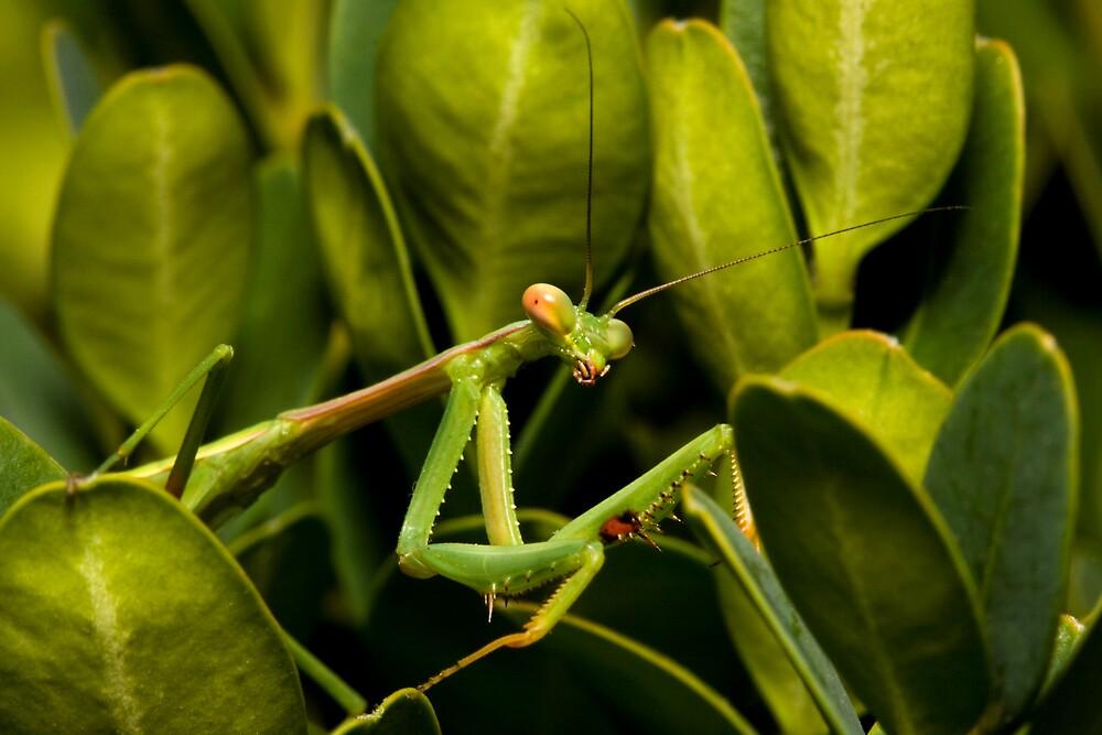 Praying Mantis (adult) Archimantis latistya by Colin  Ewington
