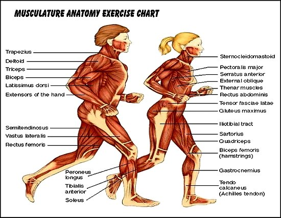Musculature Anatomy Exercise Chart Print Posters By Posterbobs
