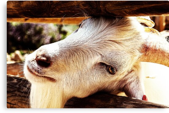 Let me go I am goat by Yevgeni Kacnelson