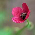 Wild Pink Poppy by Melissa Holland