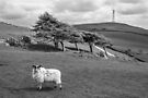 Hoad Ewe by Stephen Miller