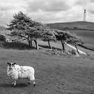 Hoad Ewe by Stephen Miller