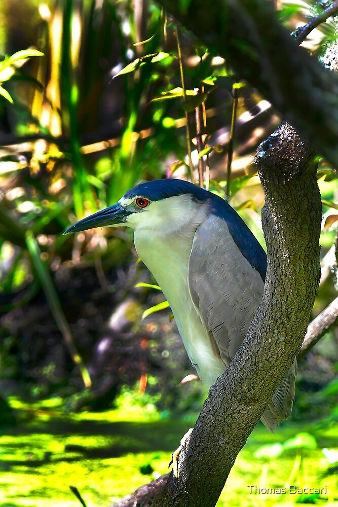 Black Crowned Night Heron in Swamp by TJ Baccari Photography