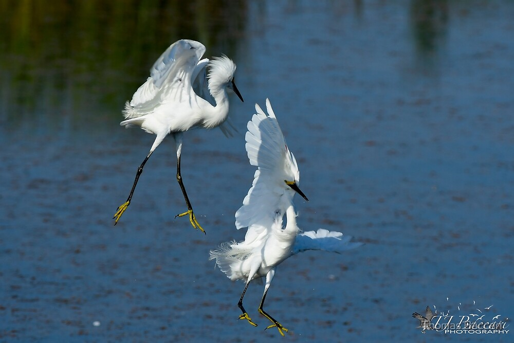 Snowy Egret in a Turf Dispute by TJ Baccari Photography