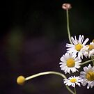Daisy Cluster by Wayne King