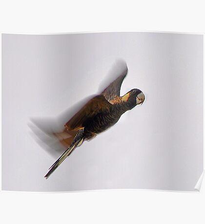 Black Cockatoo In Flight  Poster
