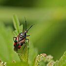 Tiny Shieldbug by Robert Abraham