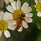 Male Marmalade Fly by Robert Abraham