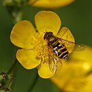 Hoverfly - Syrphus ribesii by Robert Abraham