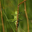 Giant Bush Cricket by Robert Abraham