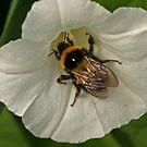 Bumblebee by Robert Abraham