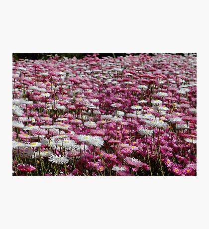 Rhodanthe meadow Photographic Print