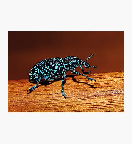 Chrysolopus spectabilis (Botany Bay Weevil) Photographic Print