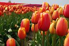 Skagit Valley Tulips by Tori Snow