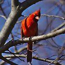 Male cardinal keeping watch by Brad Chambers