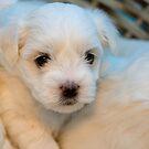 Puppy in a Basket by David de Groot