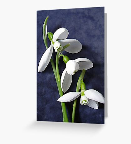 SNOWDROPS... The Spring is coming... Greeting Card
