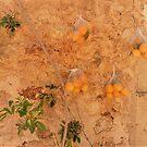 Fresh Oranges by Fara