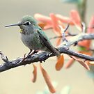 Young Anna's hummingbird by loiteke
