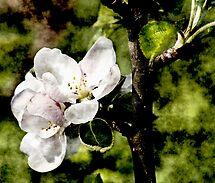 Apple Blossom by Richard Hamilton-Veal