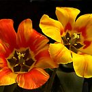 Tulip Duo by cclaude
