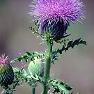 Thistle and Skipper by Anne Smyth