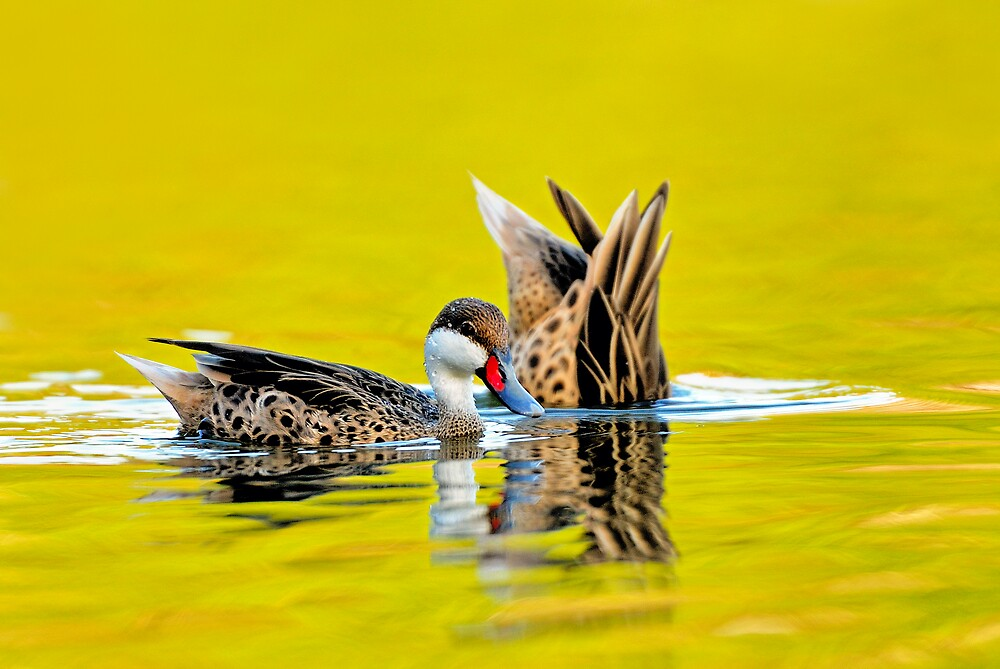 White Cheeked Pintails 2 by Nathan Lovas Photography
