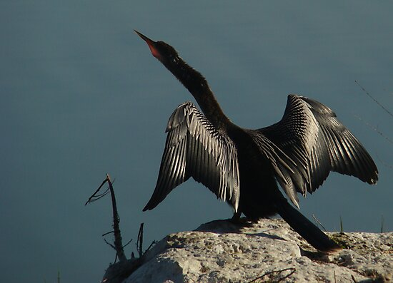 Wings of the Anhinga by Elizabeth Rodriguez
