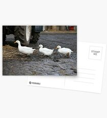 Ducks In A Row Postcards