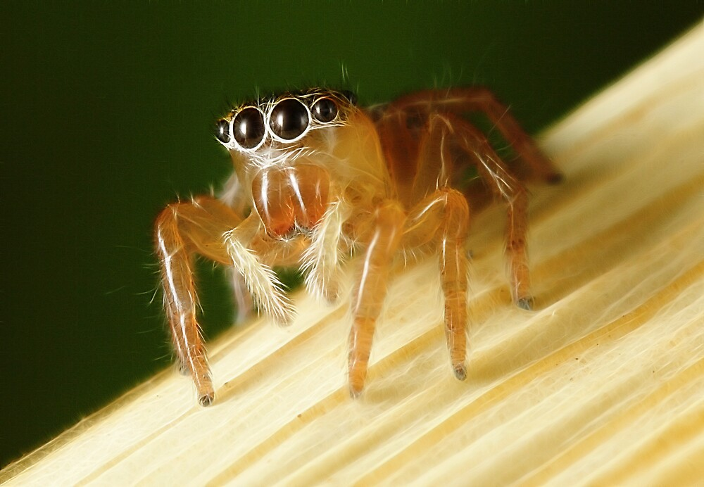 Jumping Spider by Darren Post